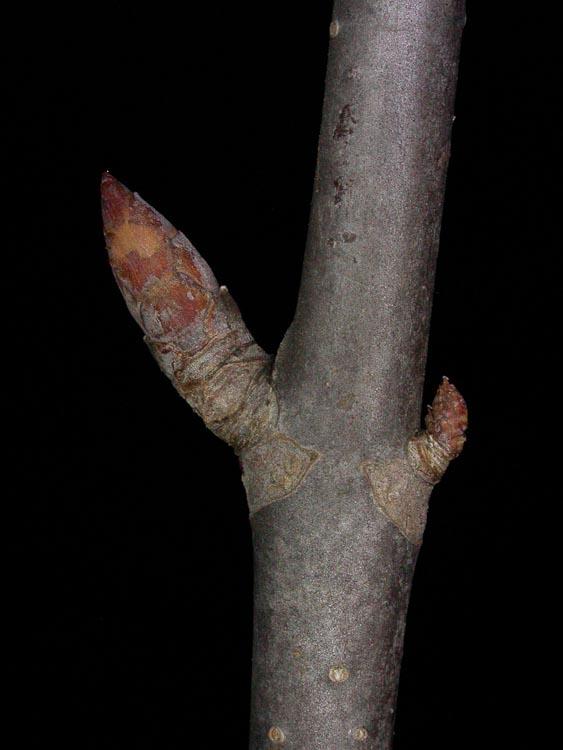 Aesculus glabra twig