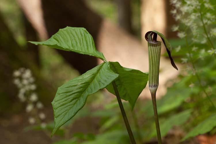 Arisaemia triphyllum