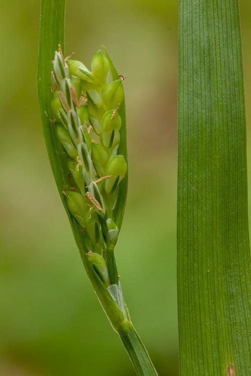 Carex albursina