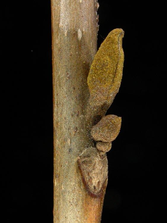 Carya-cordiformis-lateral