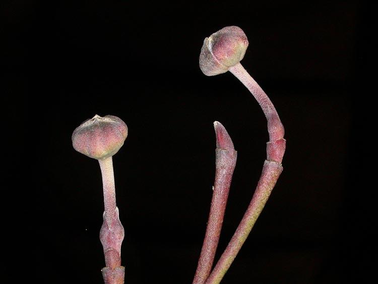Cornus-florida