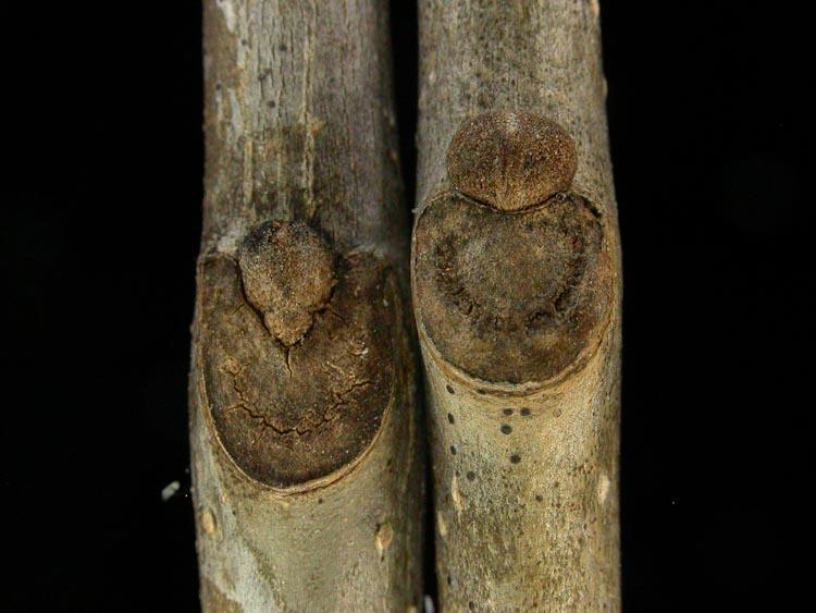 Fraxinus-americana-pensylvanica