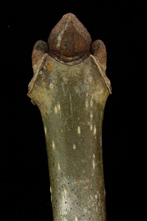 Fraxinus-pensylvanica-twig