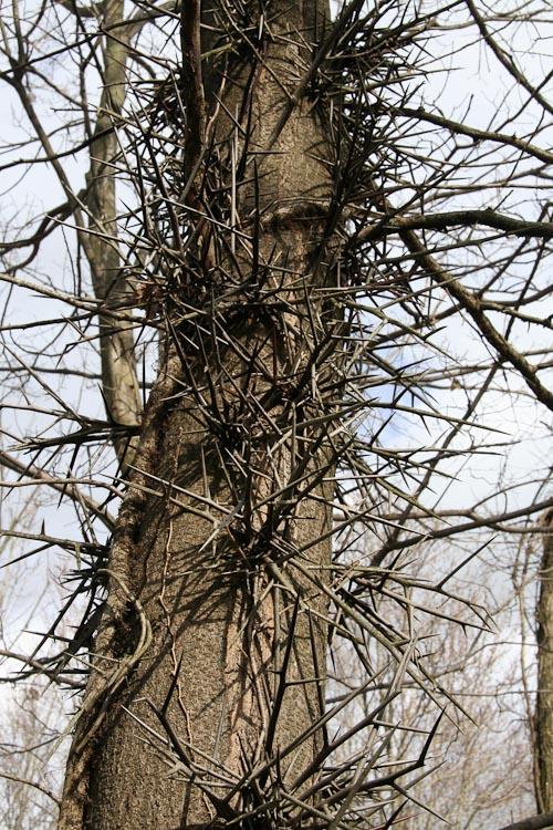 Gleditsia-triacanthos-tree