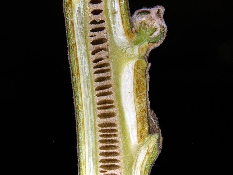 Juglans-nigra-pith