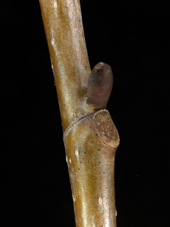Liriodendron-tuliperifera-lateral