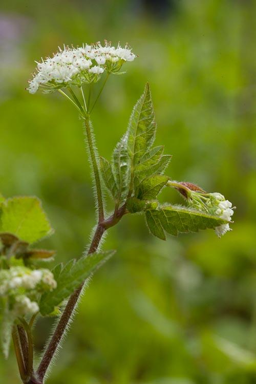 Osmorhiza claytoniana