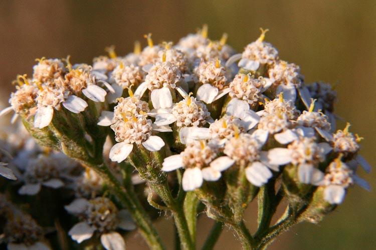 Achillea millefolium flowers