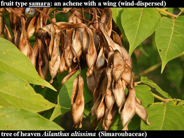 Ailanthus fruit