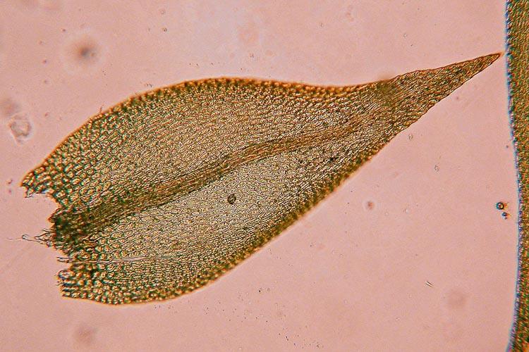 Amblystegium varium