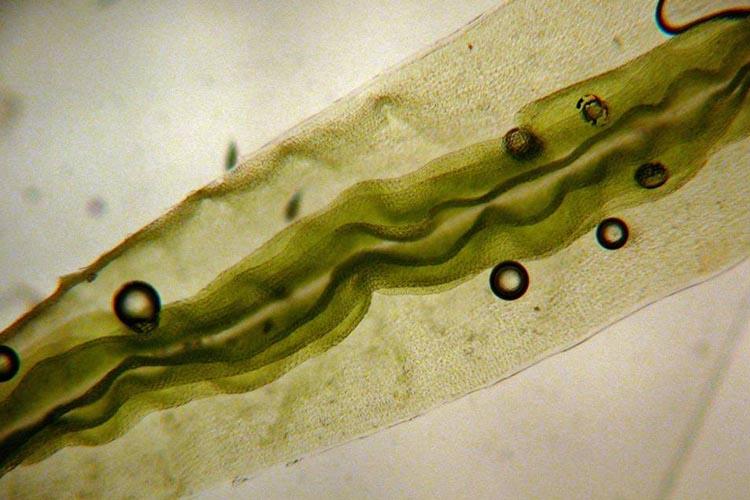 Atrichum angustatum lamellae