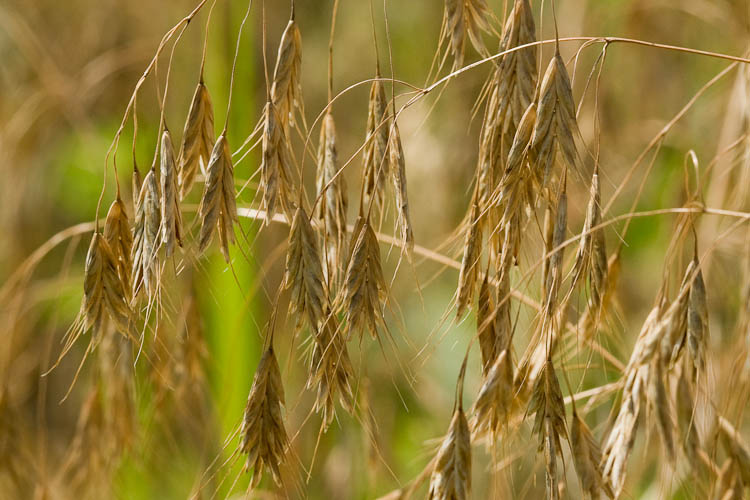 Bromus with awns
