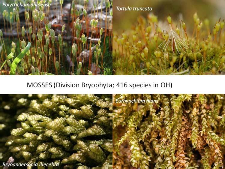 Bryophyta in Ohio