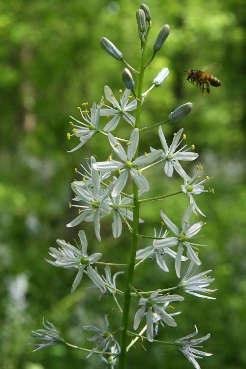 families-Liliaceae – Ohio Plants Raceme Inflorescence