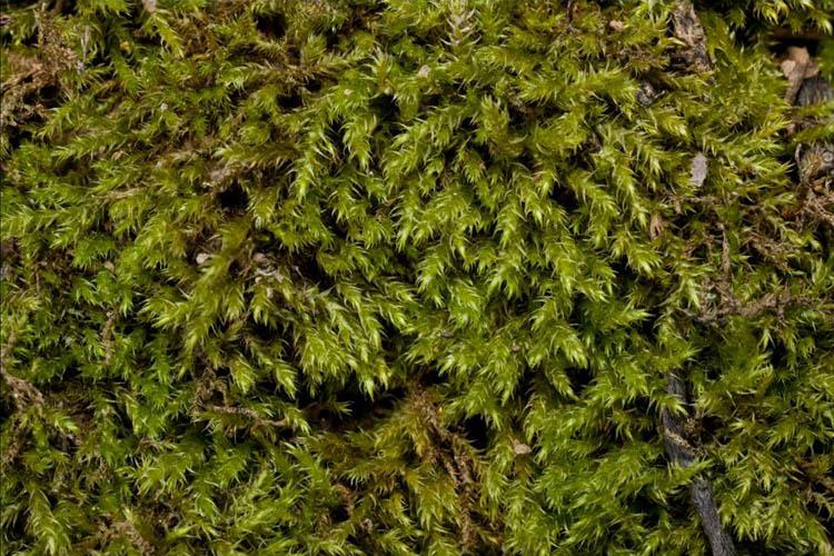 Campylium chrysophylum