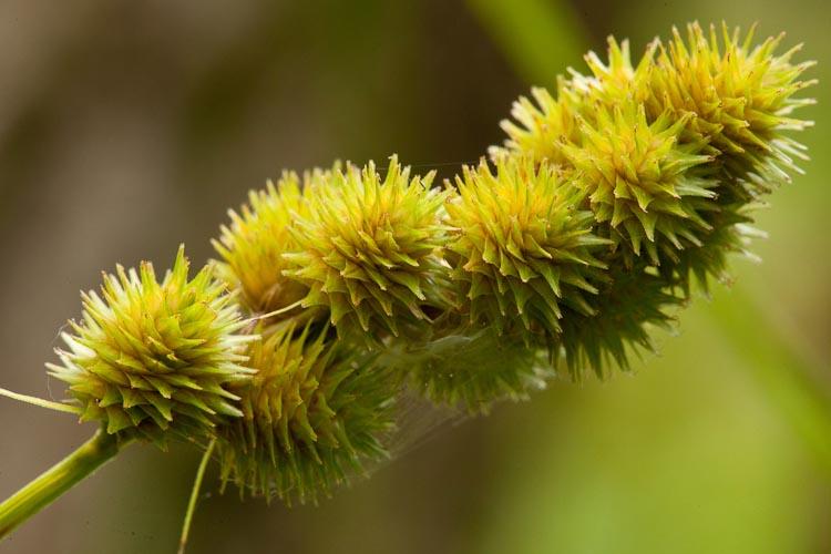 Carex cristatella