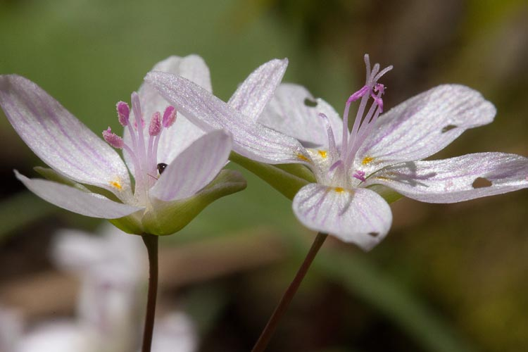 Claytonia virginica flowers