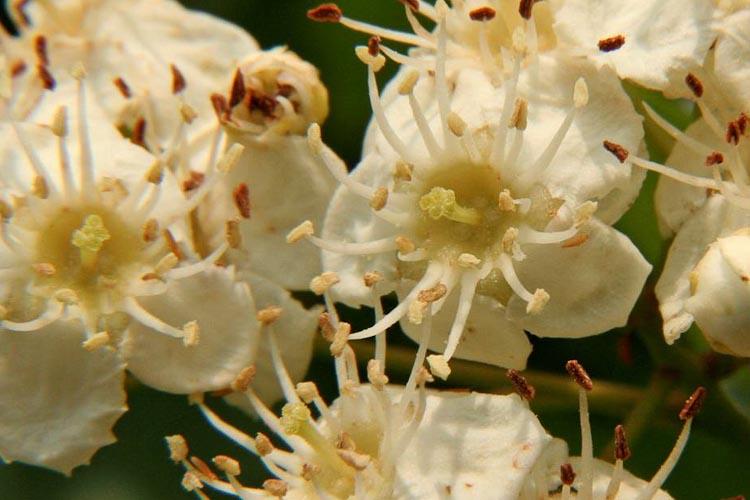Crataegus flowers
