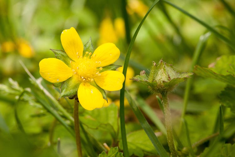 Duchesnia indica flower
