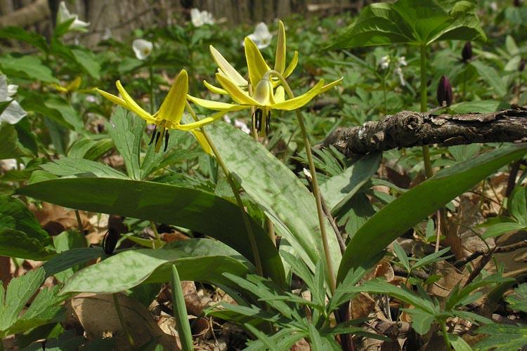 Erythronium americanum plant