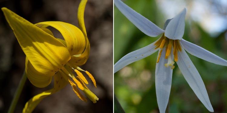 Erythronium flowers styles