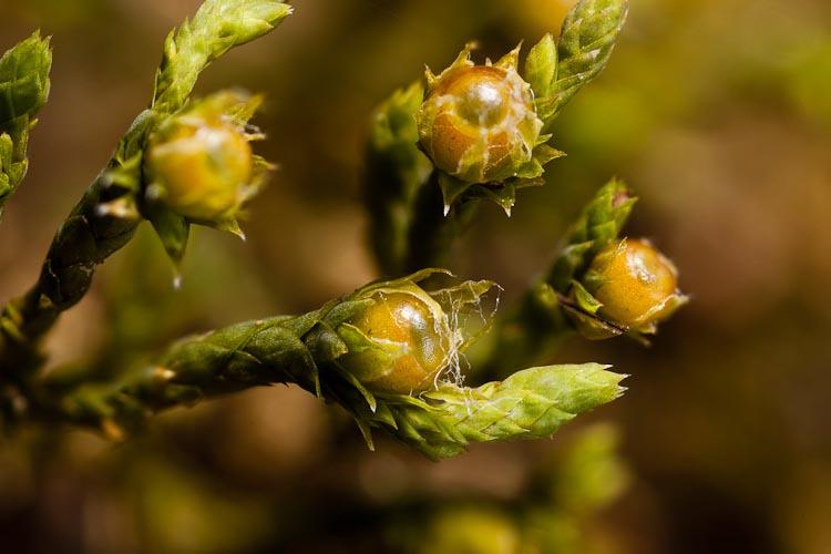 Hedwigia ciliata capsules