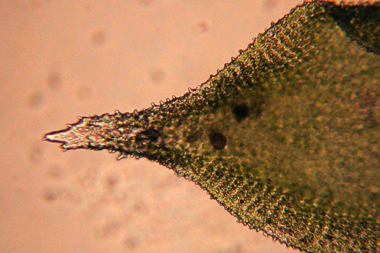 Hedwigia ciliata leaf tip