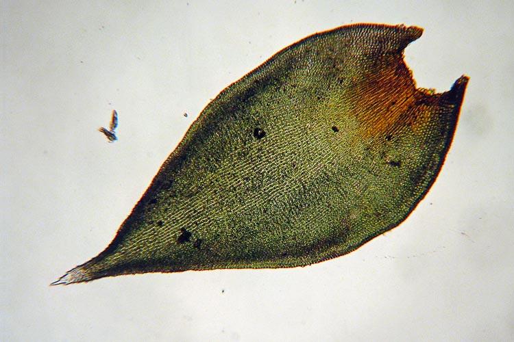 Hedwigia ciliata leaf