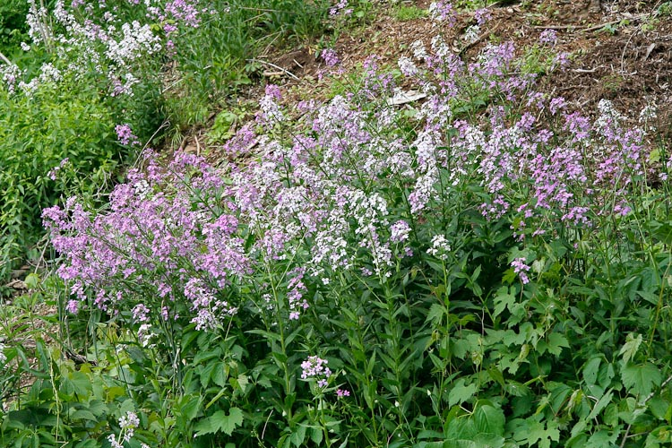 Hesperis matronalis plants