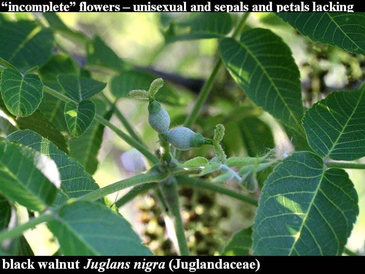 Juglans nigra female