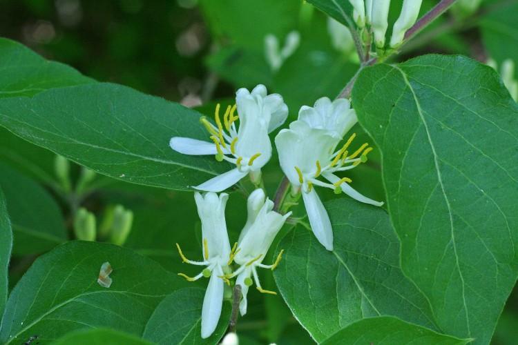 Families Caprifoliaceae Ohio Plants