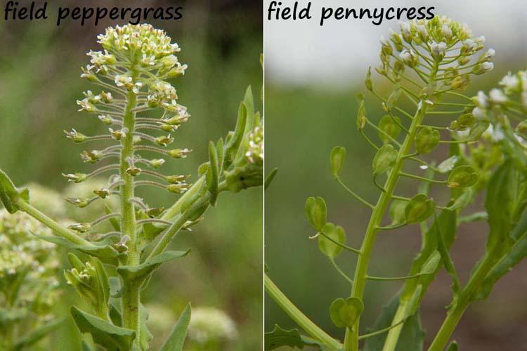 Lepidium campestre and Thlaspi arvense