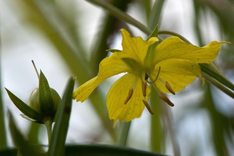 Lysimachia quadriflora