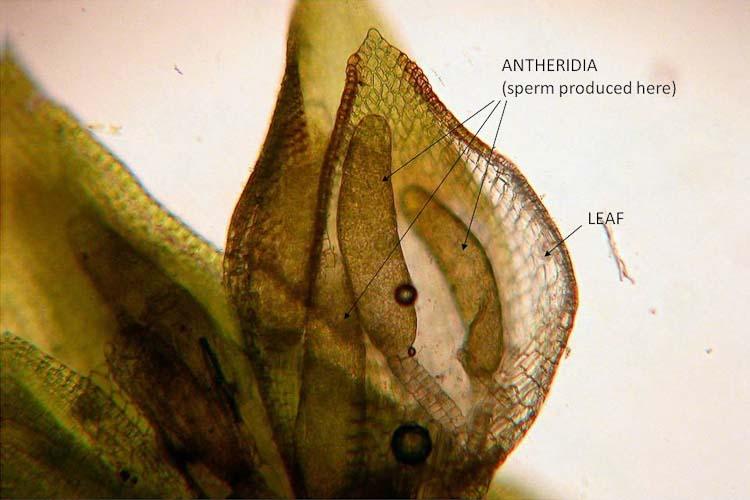 Orthotrichum pumillum antheridia