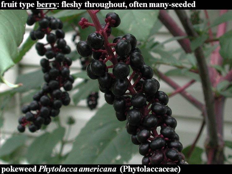 Phytolacca americana fruits