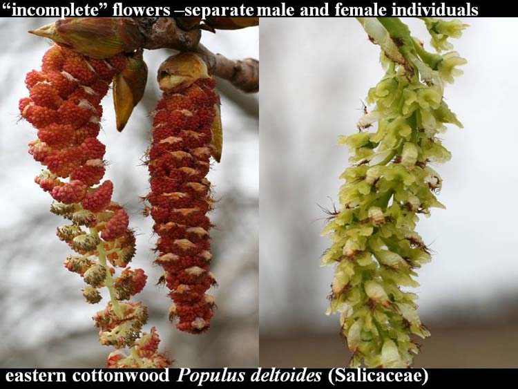 Populus deltoides catkins
