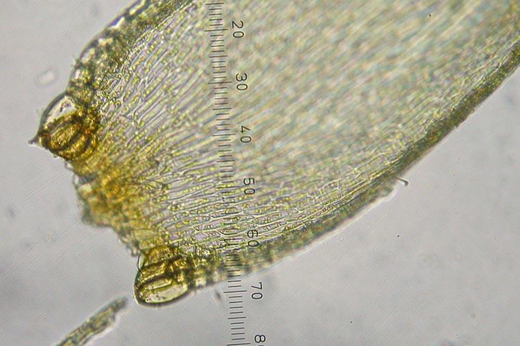 Pylasiadelpha tenuirostris alar cells