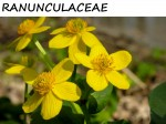RANUNCULACEAE, THE BUTTERCUP FAMILY