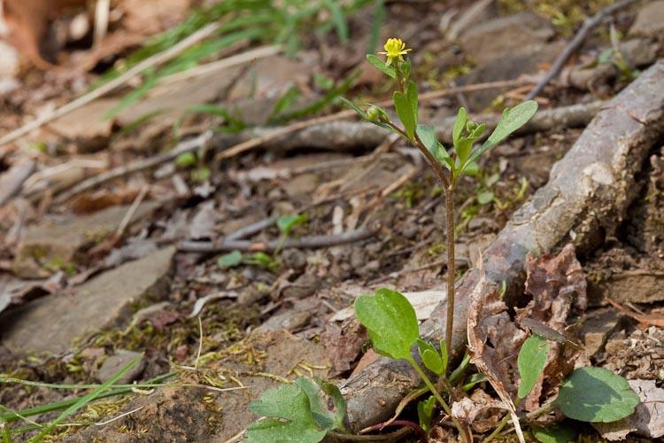Ranunculus abortivus