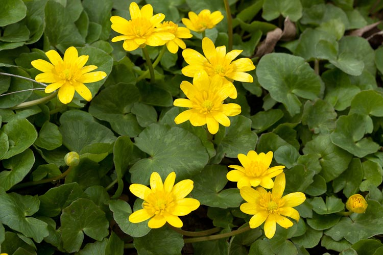 Ranunculus ficaria habitat
