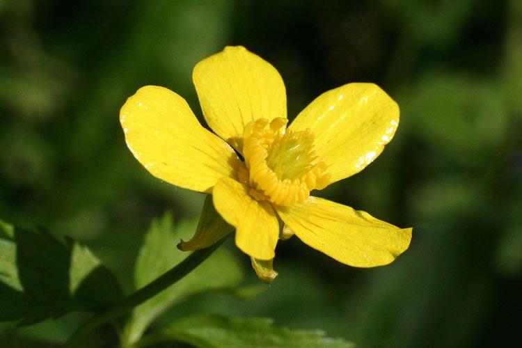 Ranunculus hispidus flower