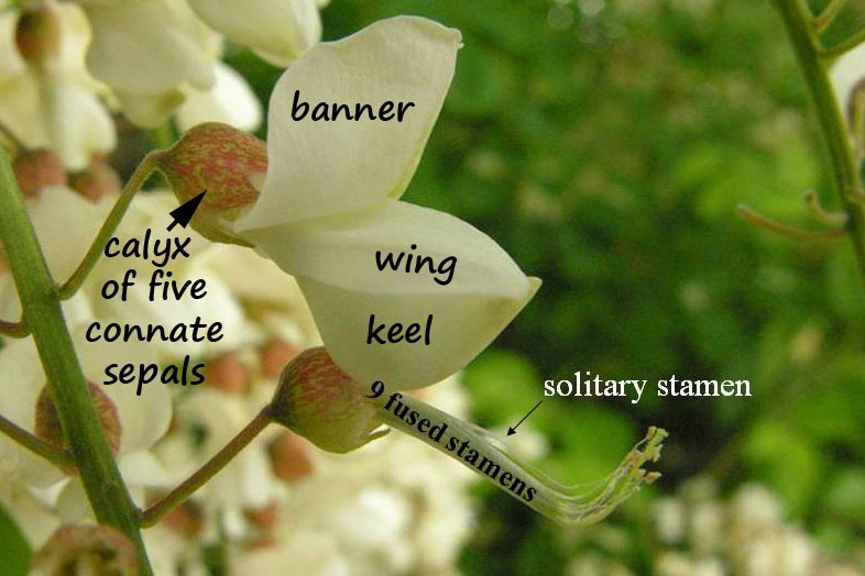 Robinia flower