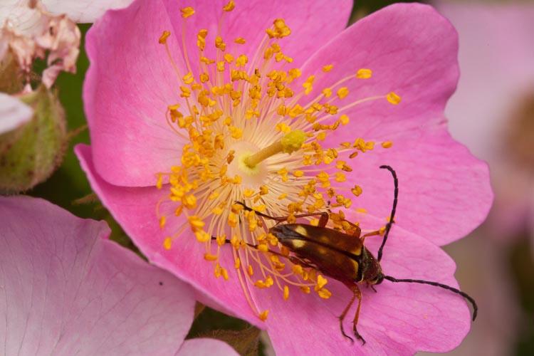 Rosa setigera Typocerus acuticauda