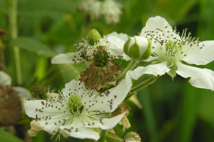 Rubus allegheniensis inflorescence