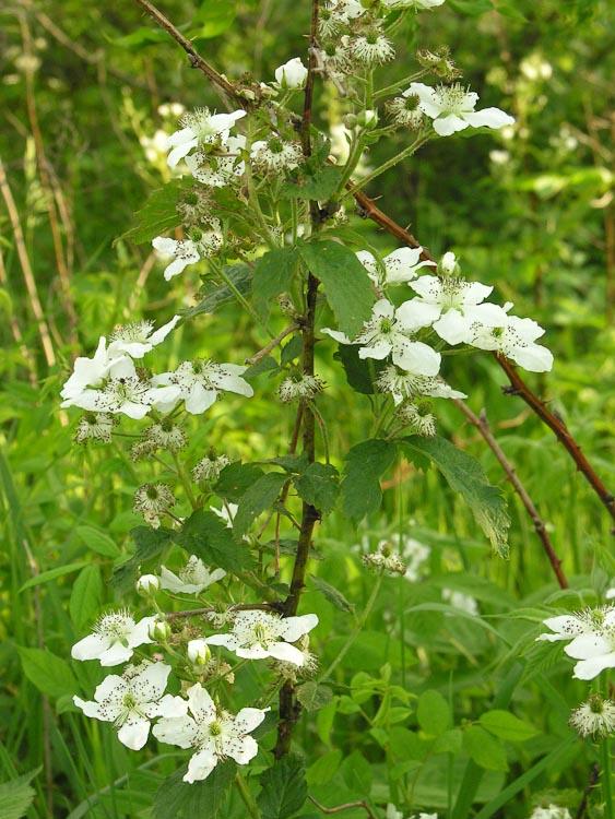 Rubus allegheniensis