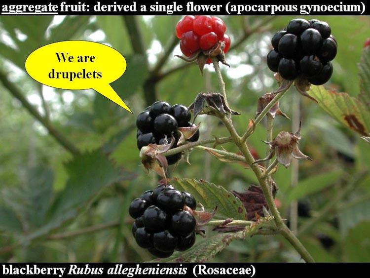 Rubus fruits