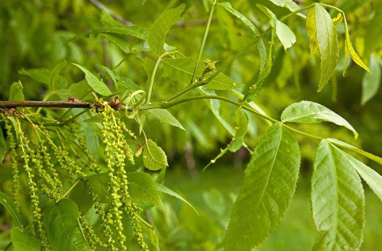 bitternut hickory branch