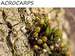 ACROCARPS