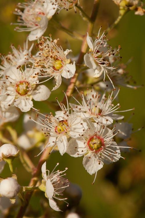 Spiraea alba flowers