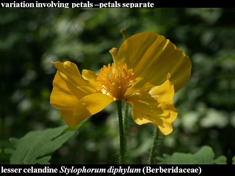 Stylophorum diphylum